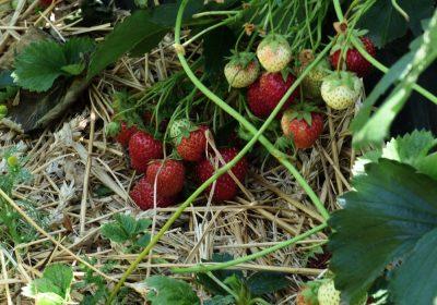 Pfingst-Erdbeeren