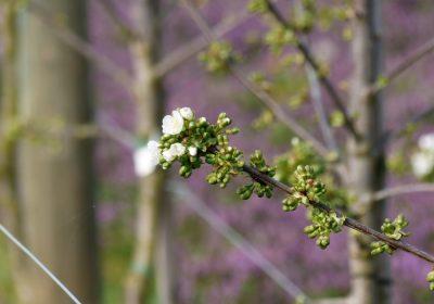 Die Kirschen blühen