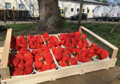 Die ersten Erdbeeren!